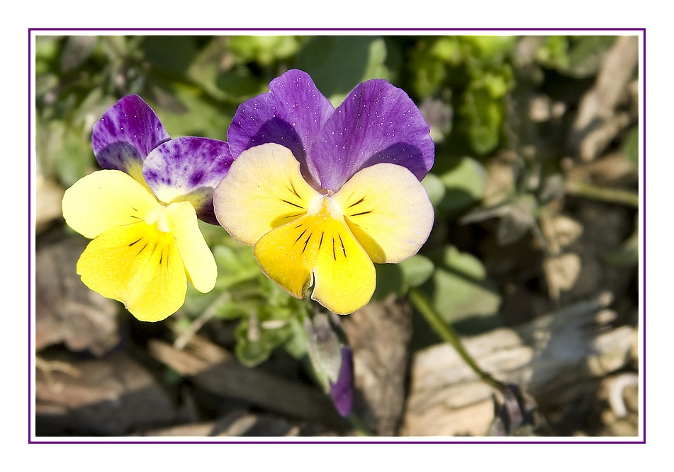 |___ Gelb & Violett ___|