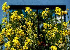 gelb vor blau