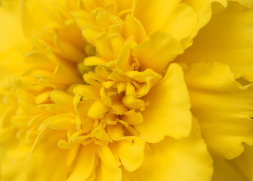 Gelb wie die ,,Sonne,,