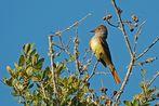 Gelbbauch-Schopftyrann - Great Crested Flycatcher (Myiarchus crinitus)