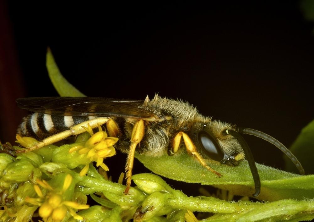 Gelbbinden-Furchenbiene, Halictus scabiosae, Männchen II