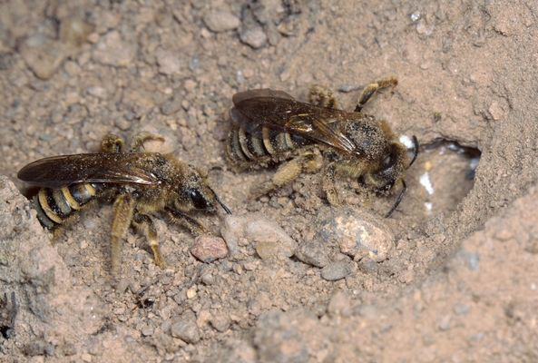 Gelbbinden-Furchenbienen, Halictus scabiosae II