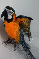 Gelbbrustara beim Duschen