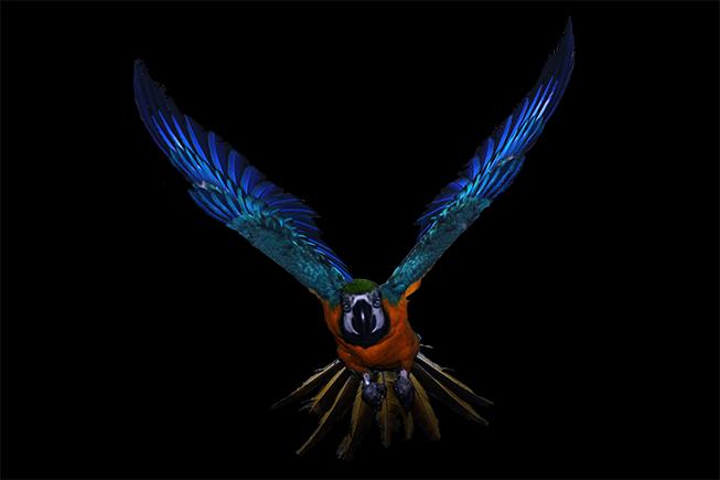 Gelbbrustara Im Flug mit ausgestreckten Flügeln