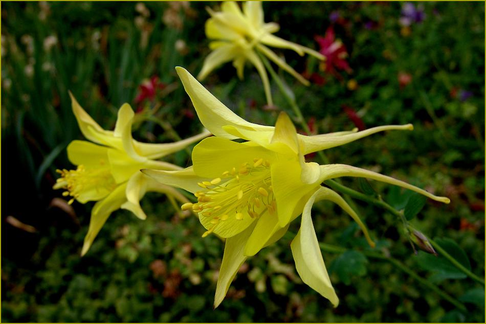 gelbe akelei foto bild pflanzen pilze flechten bl ten kleinpflanzen gartenpflanzen. Black Bedroom Furniture Sets. Home Design Ideas