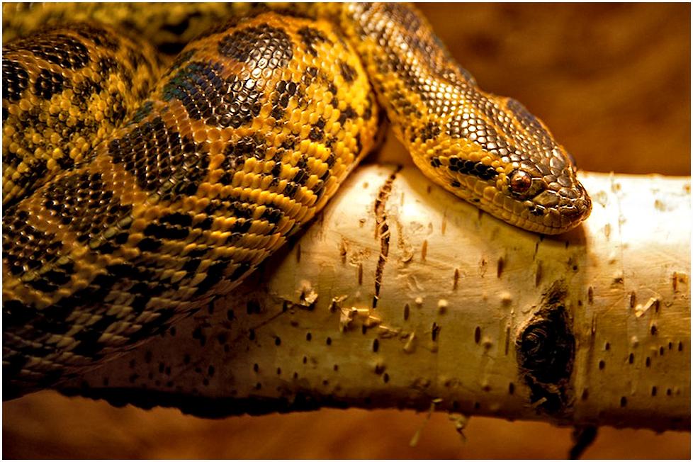 ... gelbe anaconda ...