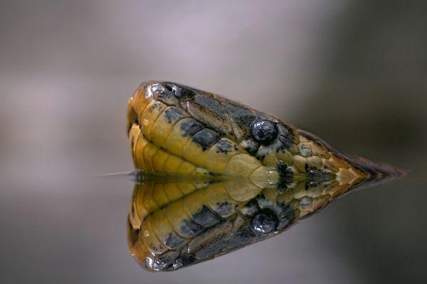 Gelbe Anakonda