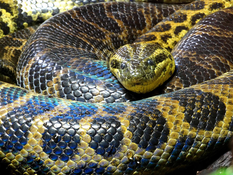 Gelbe Anakonda (Zoo Neuwied)