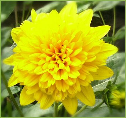 Gelbe Aster aus heimischen Garten