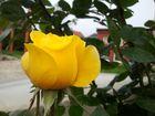 Gelbe Beetrose