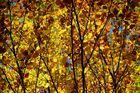 Gelbe Blätterwald in Herbststimmung