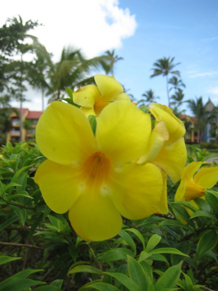 Gelbe Blüte einer Karibikpflanze