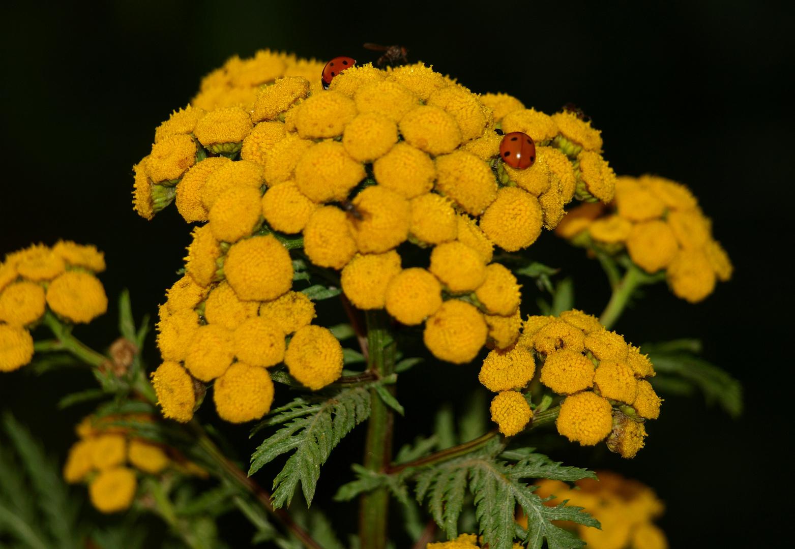 Gelbe Blüte mit Marienkäfer