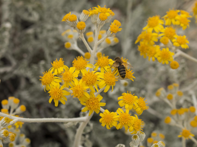 Gelbe Blütenbiene
