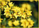 Gelbe Blütenflut