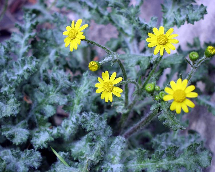 Gelbe Blume