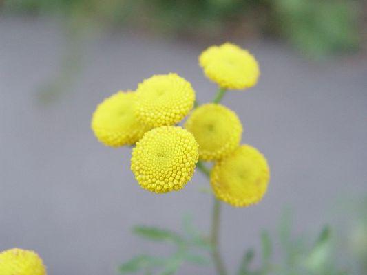 Gelbe Blume am Wegesrand