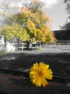 ... gelbe Blume ...