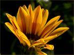 Gelbe Blume im herbstlichen Morgentau