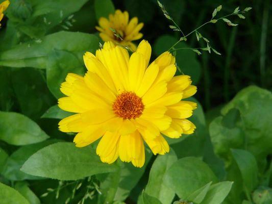 gelbe Blume im Sommer