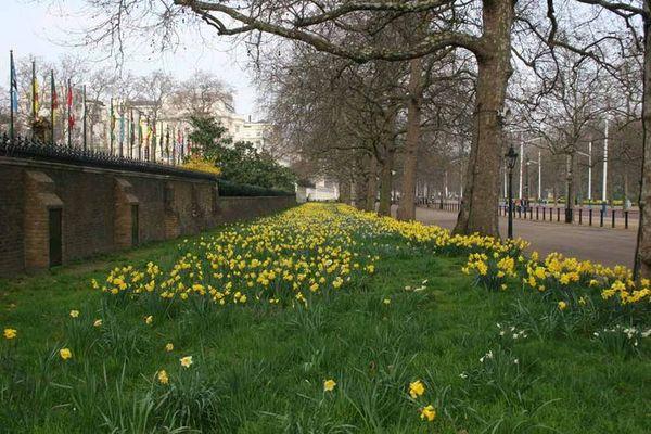 Gelbe Blumen im St. James Park in London