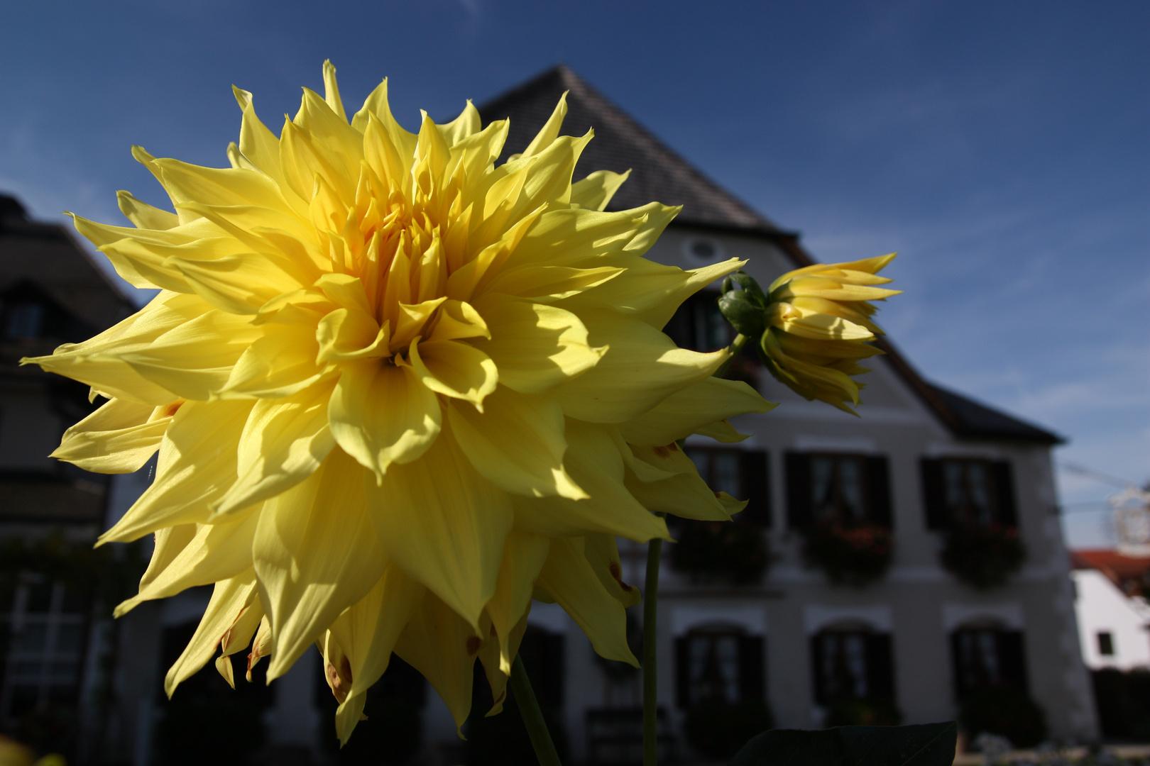 Gelbe Dahlie auf der Fraueninsel