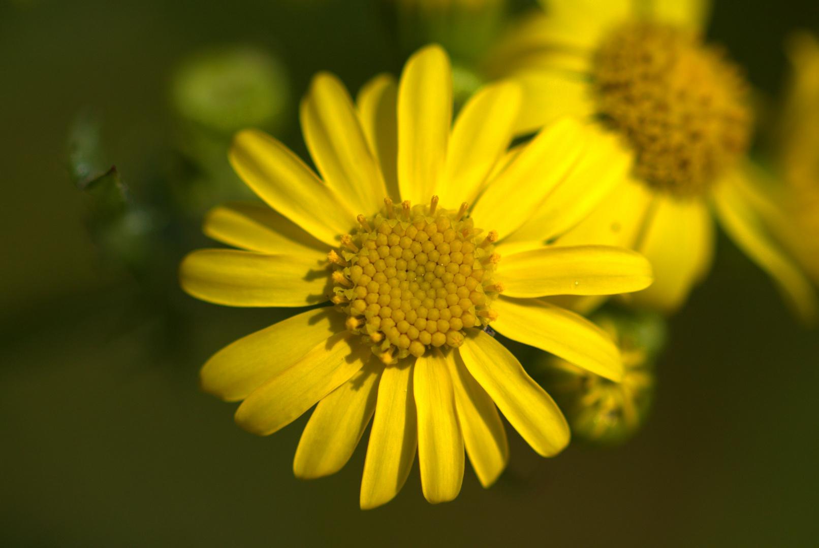 Gelbe Diestel