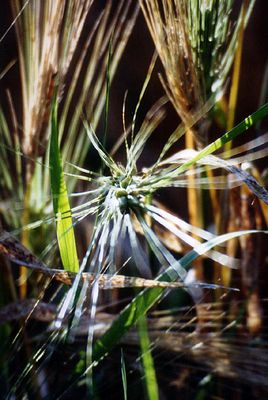 Gelbe Felder, Abendsonne IV