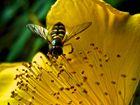 Gelbe Fliege...
