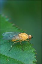 Gelbe Fliege?