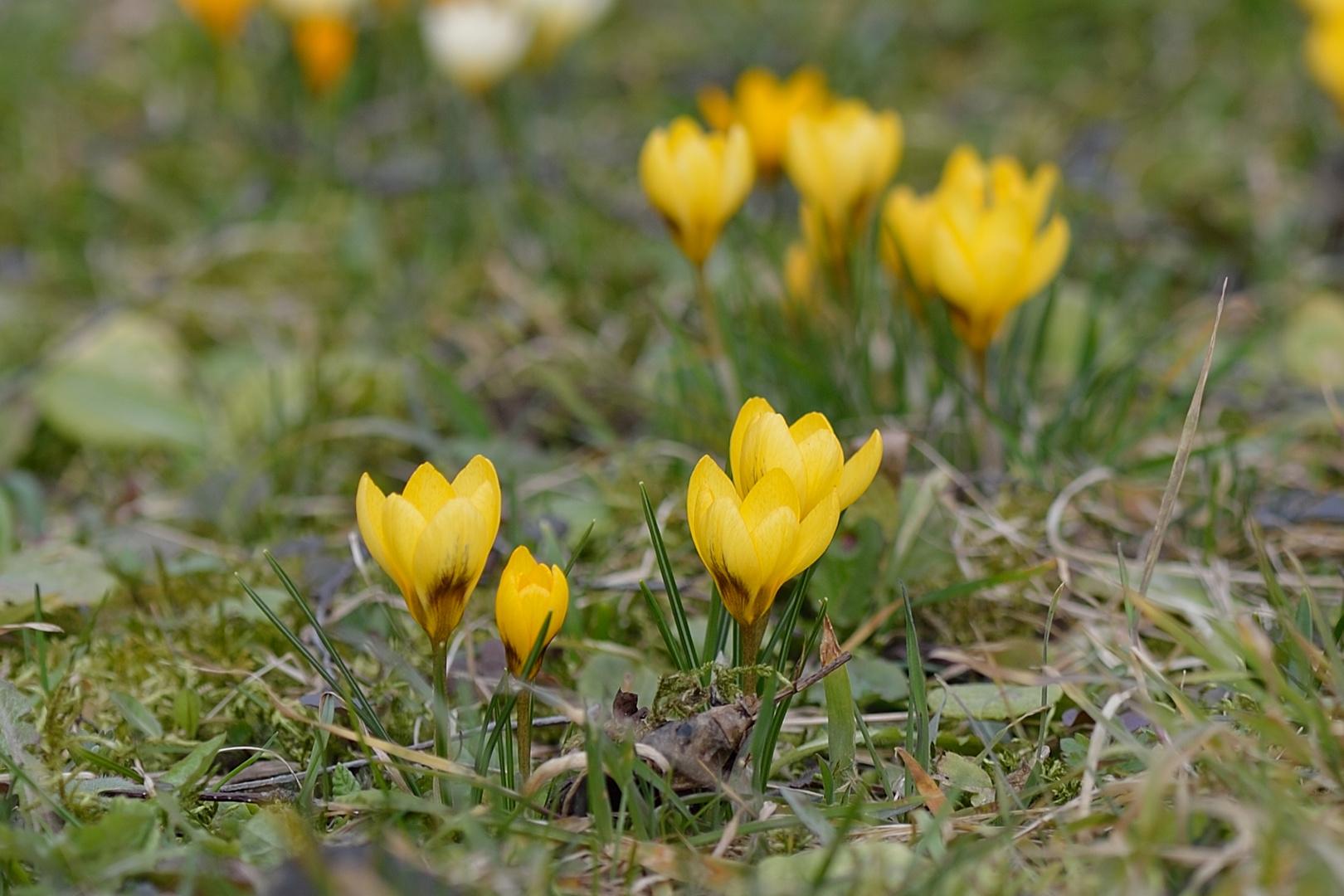 Gelbe Frühlingsschönheit