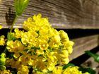 Gelbe Gartenpflanze