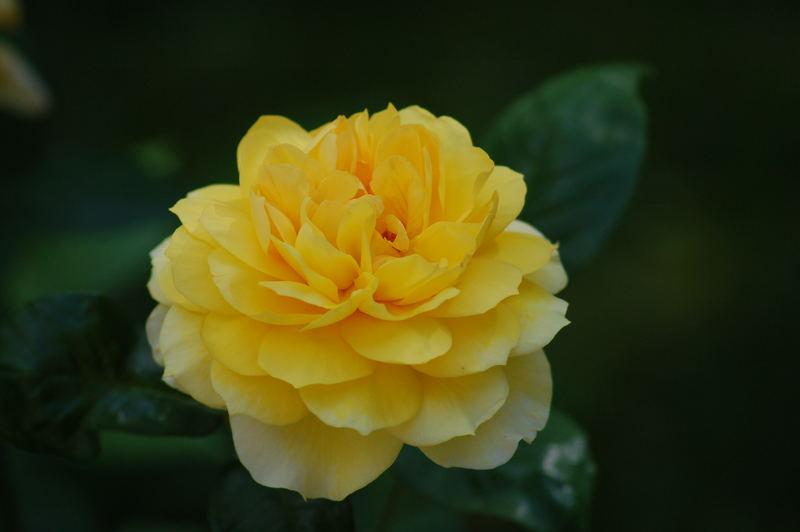 Gelbe Gartenrose