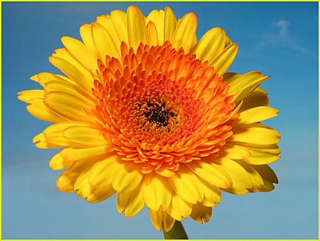 gelbe Gerbera, die zweite