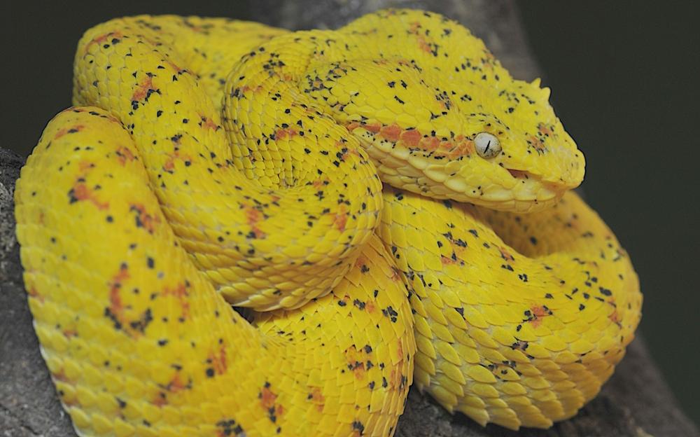 Gelbe Lanzenotter aus Costa Rica