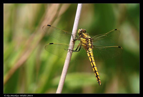 Gelbe Libellenschönheit