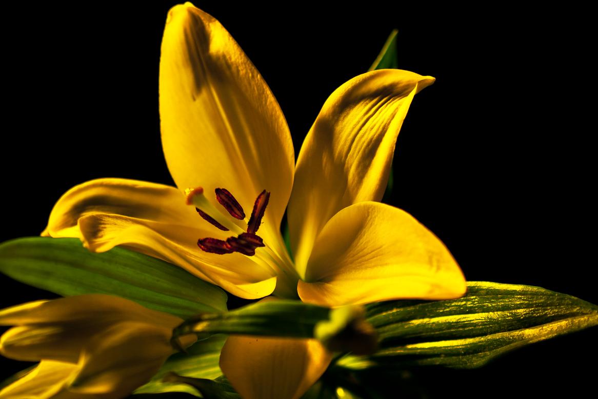 gelbe lilie foto bild pflanzen pilze flechten. Black Bedroom Furniture Sets. Home Design Ideas
