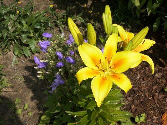 Gelbe Lilie an blauer Glockenblume