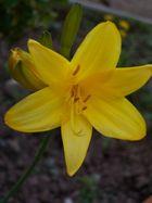 gelbe lilie
