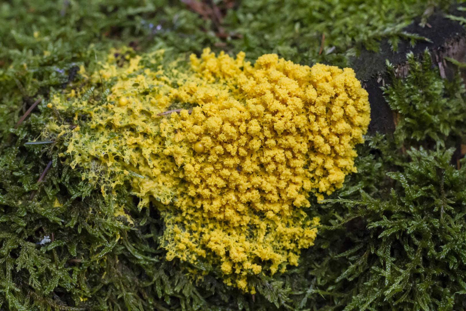 Gelbe Lohblüte (Schleimpilz)