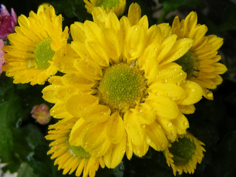 Gelbe Margariten