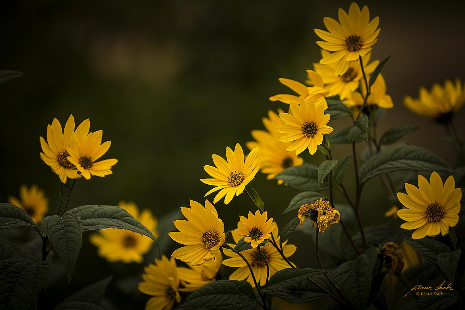 Gelbe Margeriten an den Elbauen bei Rathen
