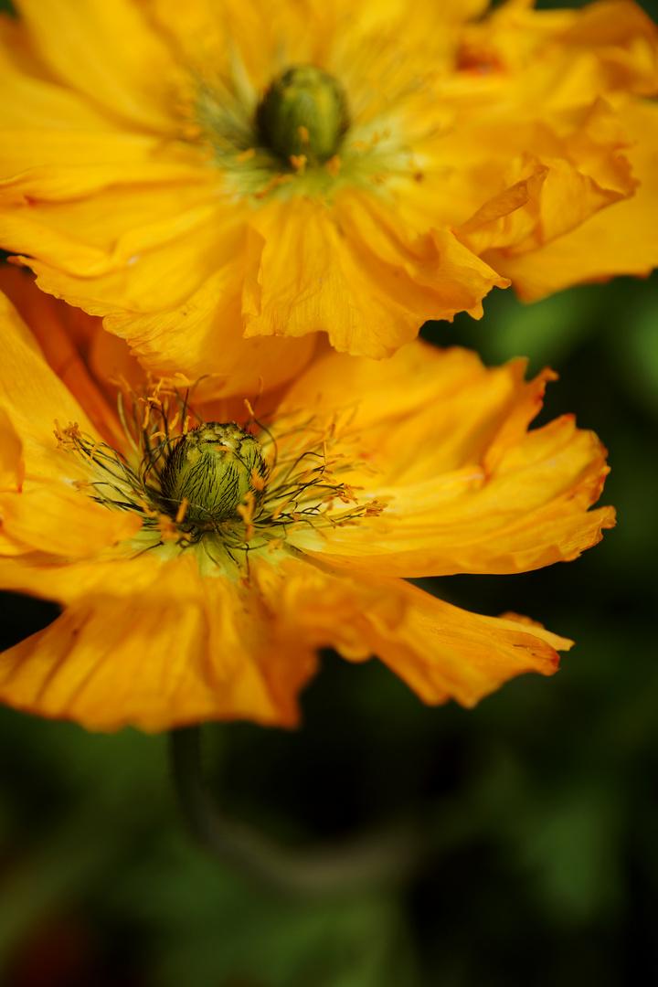 Gelbe Mohnblüten