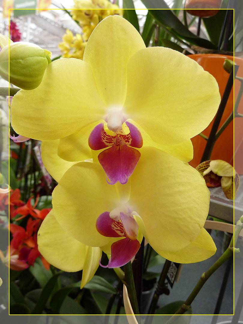 gelbe Orchidee >> Kunstpause