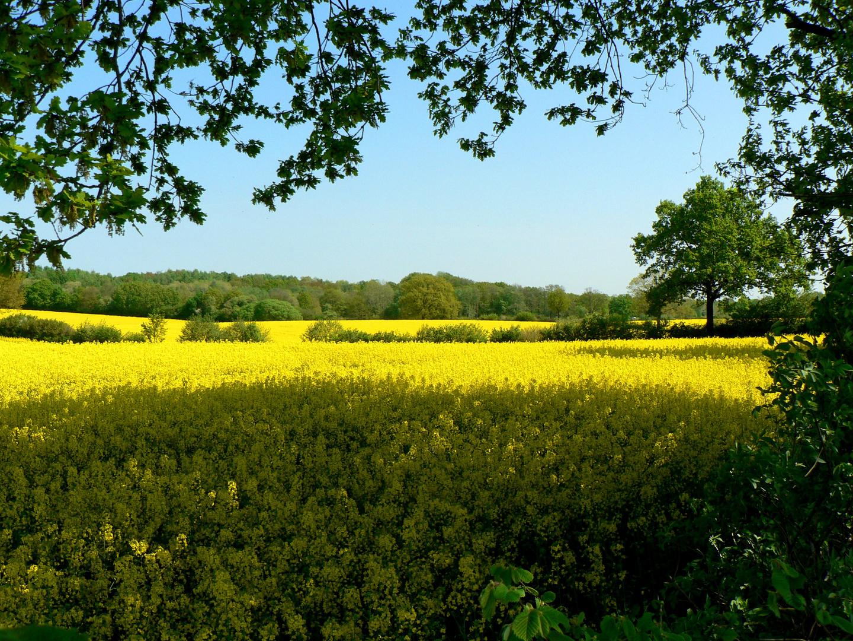 Gelbe Rapsodie, Schleswig-Holstein