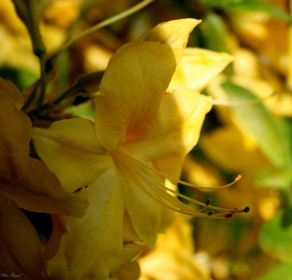 gelbe Rhododendrenblüte