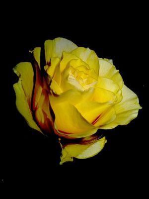 Gelbe Rose 02