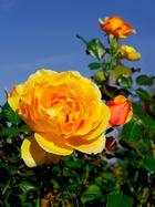 Gelbe Rose 3:4