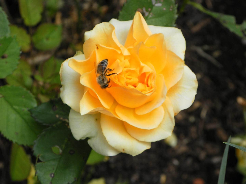 gelbe Rose aus meinem Garten
