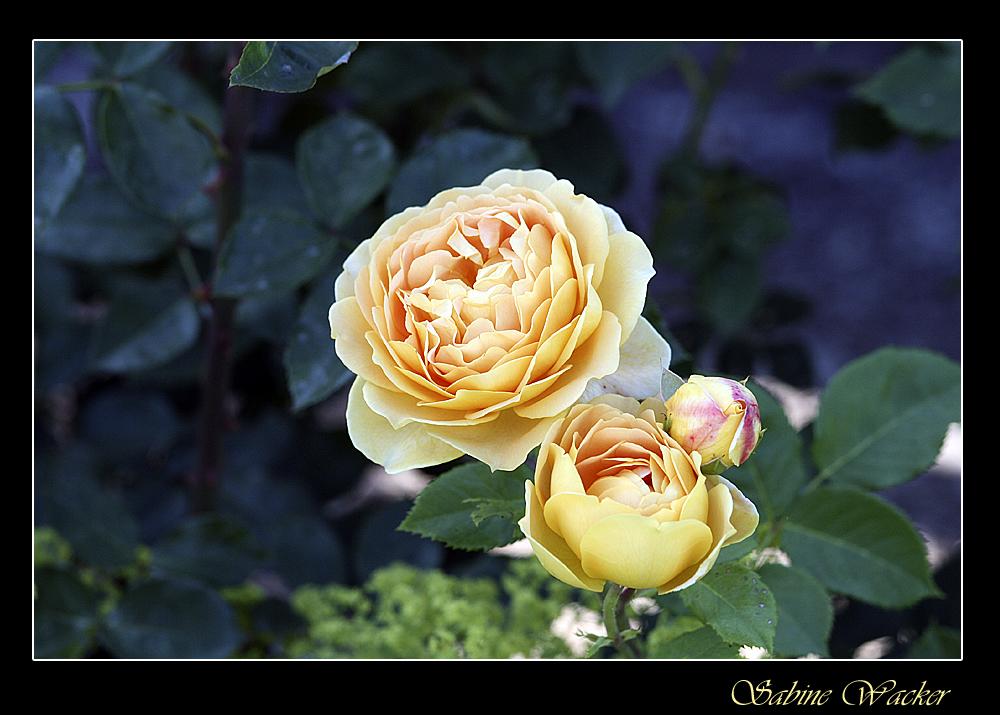 Gelbe Rose aus unserem Garten